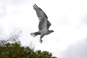 Osprey, Coral Bay W.A. - Product Code 38007 - Photographer David Blanch