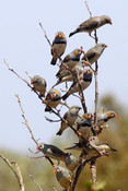Zebra Finches, Barn Hill Station  W.A. - Product Code 38008 - Photographer David Blanch