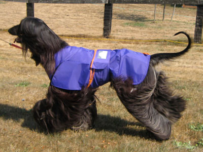 This is an Afghan hound wearing an S8 Zentek coat. The deep under belly coverage, keeps the long feathers clean and dry, as well as keeping the dogs temperature evenly regulated, summer or winter.