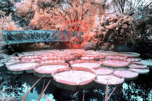 """Lily Serenity"" - Infrared Photography"
