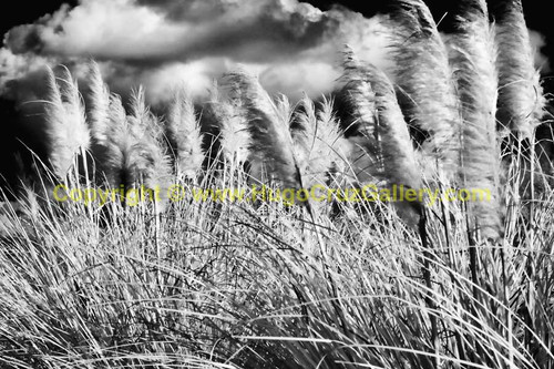 """Bending Beach Grass"" ● Infrared Photography"