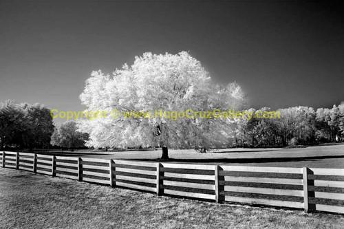 """Hail the Haile Oak"" ● Infrared Photography"