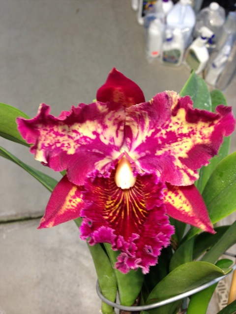 confirmed orchid viruses - Orchid