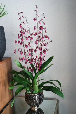 Season's Best Oncidium