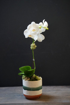 ALTIA (Compact Orchid)