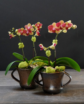 TROPHY (Compact Orchid)