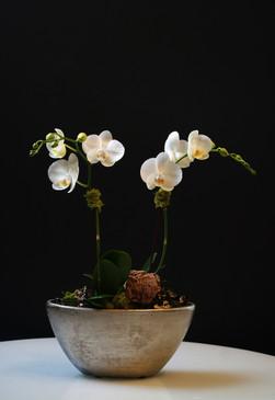 OBLIQUE (Compact Orchid)