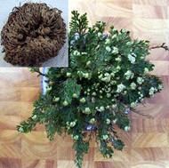 Rose of Jericho Resurrection Fern - Selaginella lepidophylla