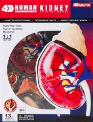 4D Master Human Anatomy Kidney Model Kit, One Color