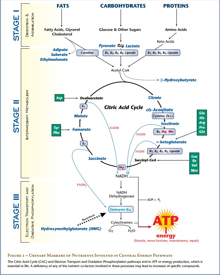 citric-acid-cycle.jpg