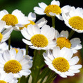 Chamomile Oil Frequencies (AromaRife)