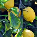 Lemon Oil Frequencies (AromaRife)