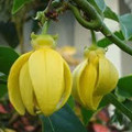 Ylang Ylang Oil Frequencies (AromaRife)