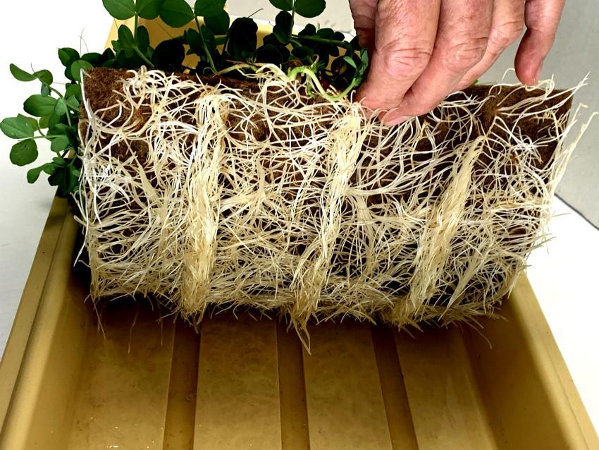 healthy roots growing in jute mats