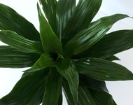 "Dragon Green Jewel - 5"" hydro planter"