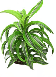 "Dracaena Lemon Lime Surprise - 5"" Hydro Planter"