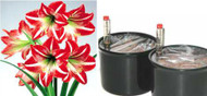 HYDRO PLANTER SPECIAL for Growing Amaryllis Bulbs (regular size bulbs)