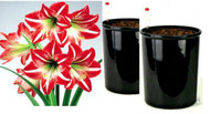 HYDRO PLANTER SPECIAL for Growing Amaryllis Bulbs (large bulbs)