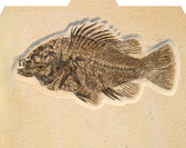 Image shows fossilized fish on textured background of File-'N Style Folder in folded view.