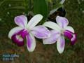 C. violacea var. semi-alba 'Icabarru' AM/AOS x self