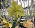 V. Hawaiian Verde  (Christensonia x sanderiana var. alba)