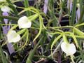 B. subulifolia 'Valley Isle' x B. subulifolia 'Pauwela'