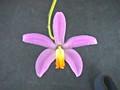 L.  lucasiana 'Pauwela' x self