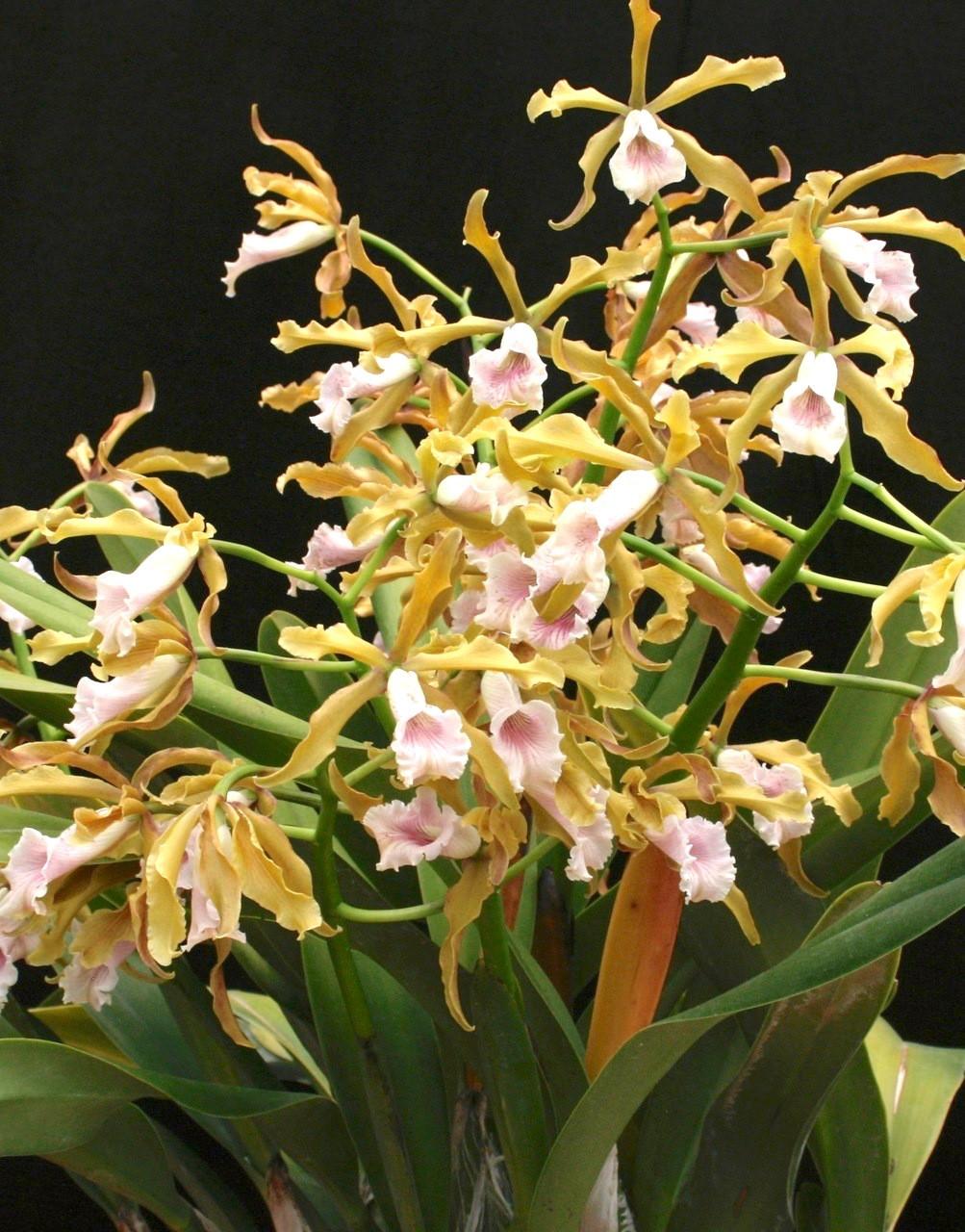 Laelia Grandis Valley Isle X Self Exotic Orchids Of Maui