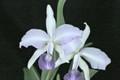 C. walkeriana var. coerulea 'Francisco's '1' x C. lawrenceana var. coerulea 'Blue Too'