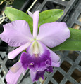 C. Floralia's Azul x C. bowringiana var. coerulea