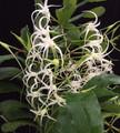 Cytorchis chailluana x Cytorchis arcuata