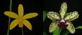 Blc. Sunspots 'Exotic Orchids' x L. flavasulina