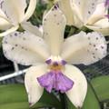 C. amethystoglossa var. coerulea 'Blue Sky' x self