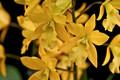 Eny. Golden Sunburst 'Exotic Orchids' AM/AOS