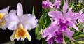 C. mossiae var. coerulea 'Exotic Orchids' x C. lobata var. coerulea 'Paulo Hoppe'
