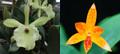 Rhyncanthe Daffodil (glauca x aurantiaca)