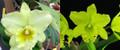 Rlc. Misty Green 'Lime Sherbert' x Rlc. Emerald Paradise 'Valley Isle'
