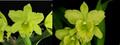 Rlc. Emerald Paradise 'Green Glow' x Rlc. Bill Blietz 'Valley Isle'