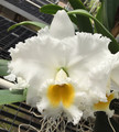 Blc. Exotic's Summer Cloud 'White Crystal'