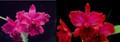 Rlc. Mem. Mary Anderson 'Haiku Red' x Rlc. Regal Red 'Pauwela'