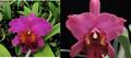 Rlc. Valley Isle Charm 'Maui' x Rlc. Mem. Mary Anderson 'Exotic Plum'