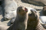 Pt Piedras Blancas Sea Lions