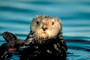 Elkhorn Slough Otter