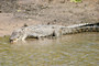 Cooper Creek Crocodile