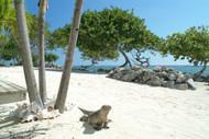 Grand Cayman Beach With Iguana
