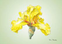 Iris 2 - 8x10 Green