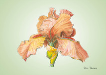 Iris 3 - 8x10 Green
