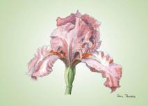 Iris 5 - 8x10 Green