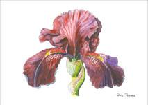 Iris 1 - 8x10 White