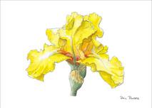 Iris 2 - 8x10 White